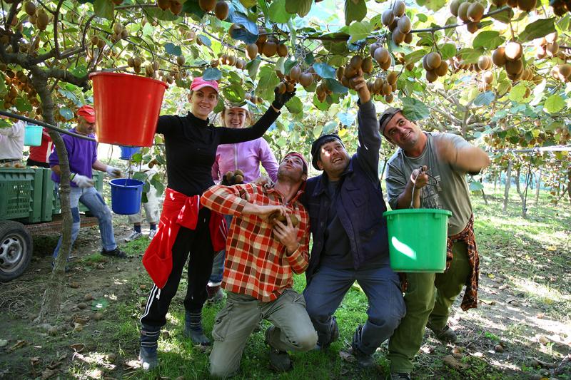 kiwi to harvest